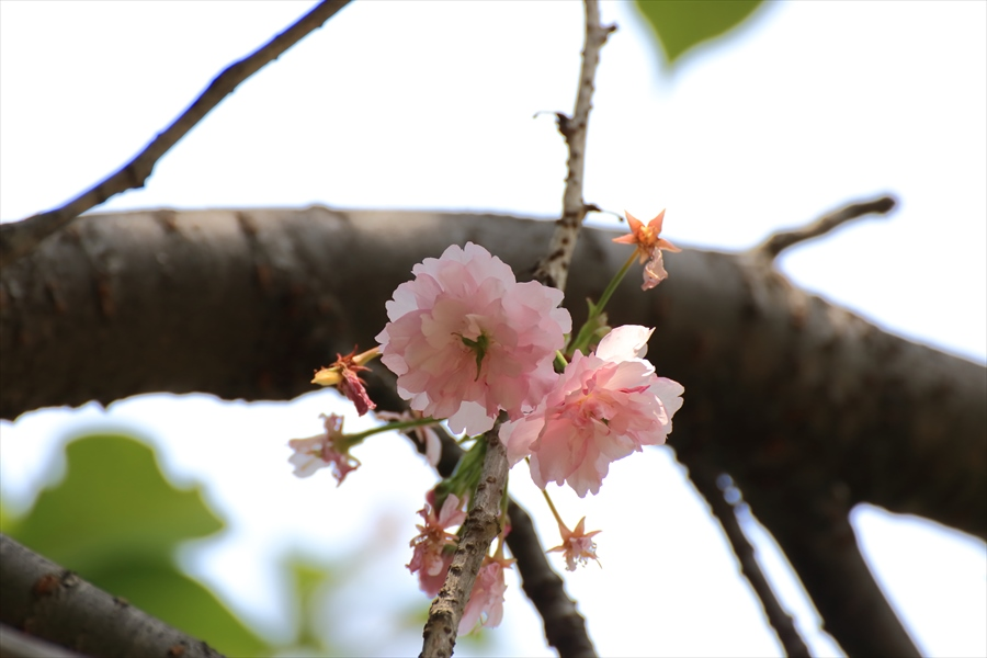 新宿御苑みどり名残の桜04
