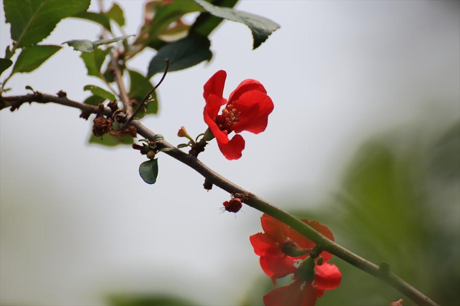 新宿御苑みどりボケの花11