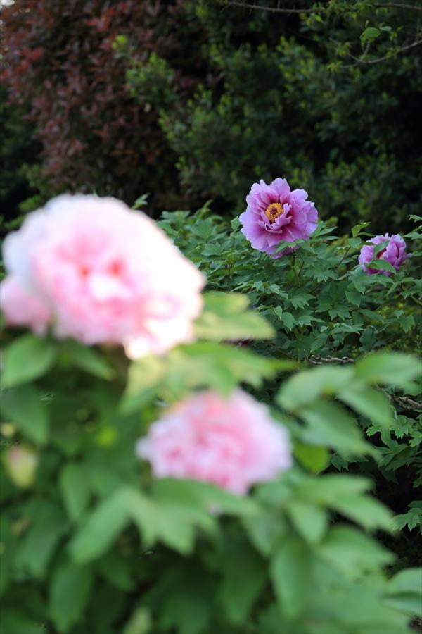 つくば牡丹園ぼたん紫05