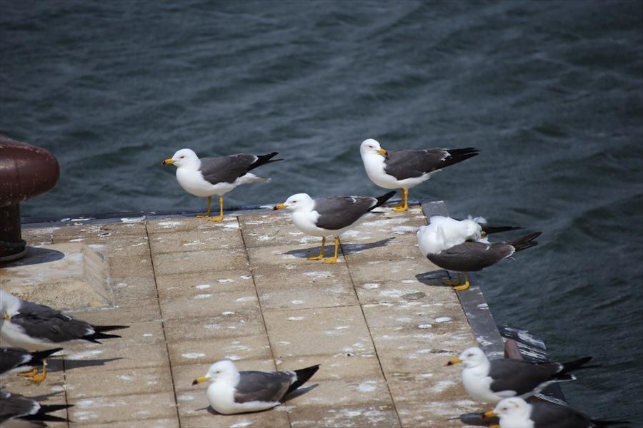 松島海岸かもめその1うろつくかもめ01