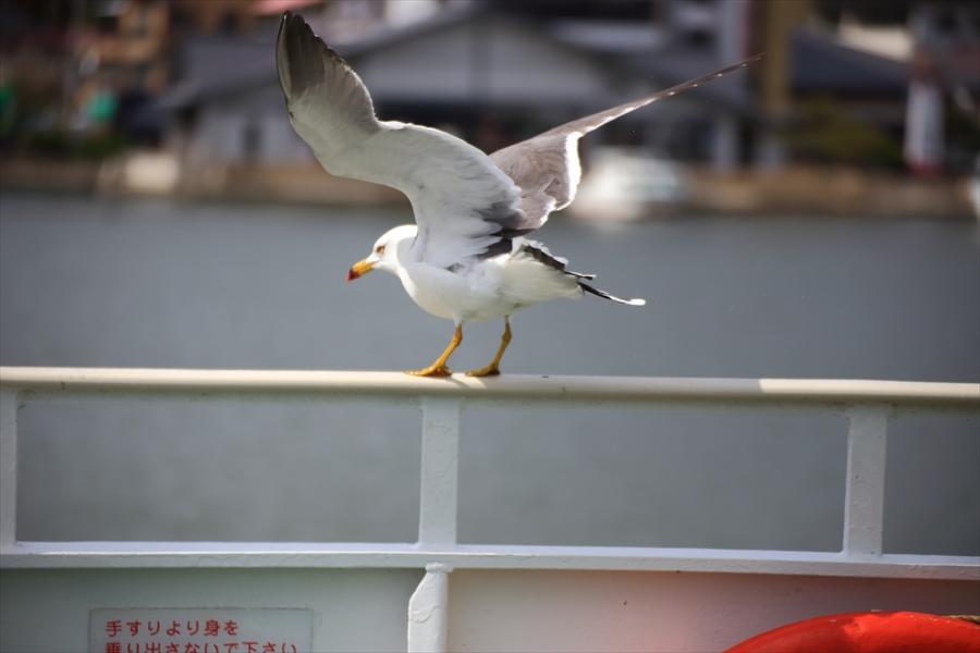 松島海岸かもめその1飛び立とうとするかもめ03