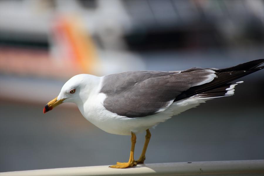 松島海岸かもめその1周遊船デッキ止まるかもめ02