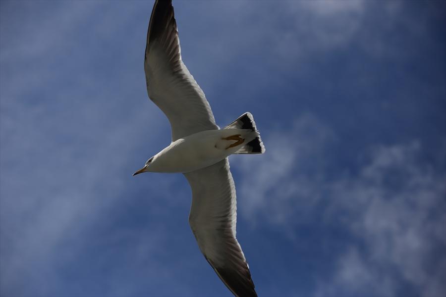 松島海岸かもめその2羽を広げ飛ぶかもめ01