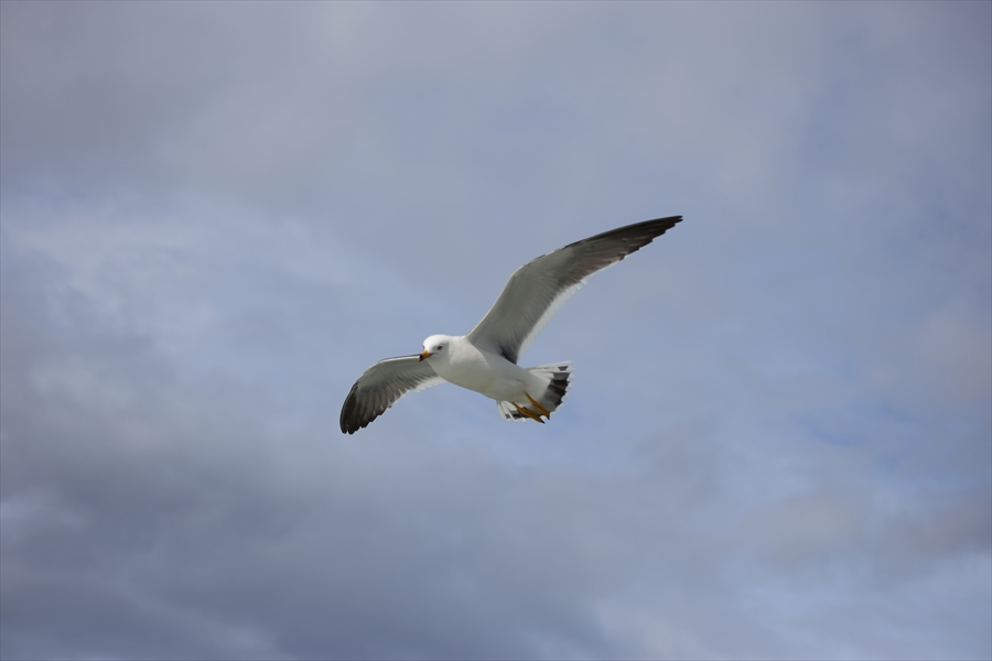 松島海岸かもめその2羽ばたくかもめ02