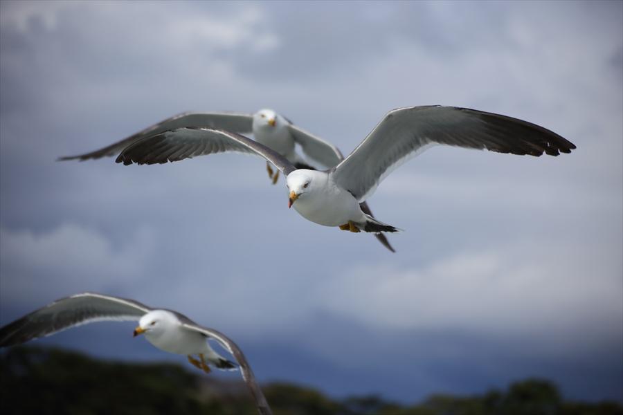 松島海岸かもめその2複数羽ばたくかもめ03