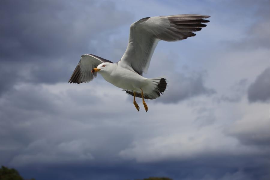 松島海岸かもめその2曲げ羽飛び去る07