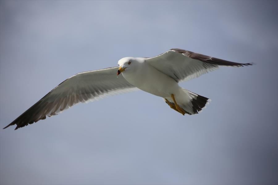 松島海岸かもめその2大空羽ばたく08