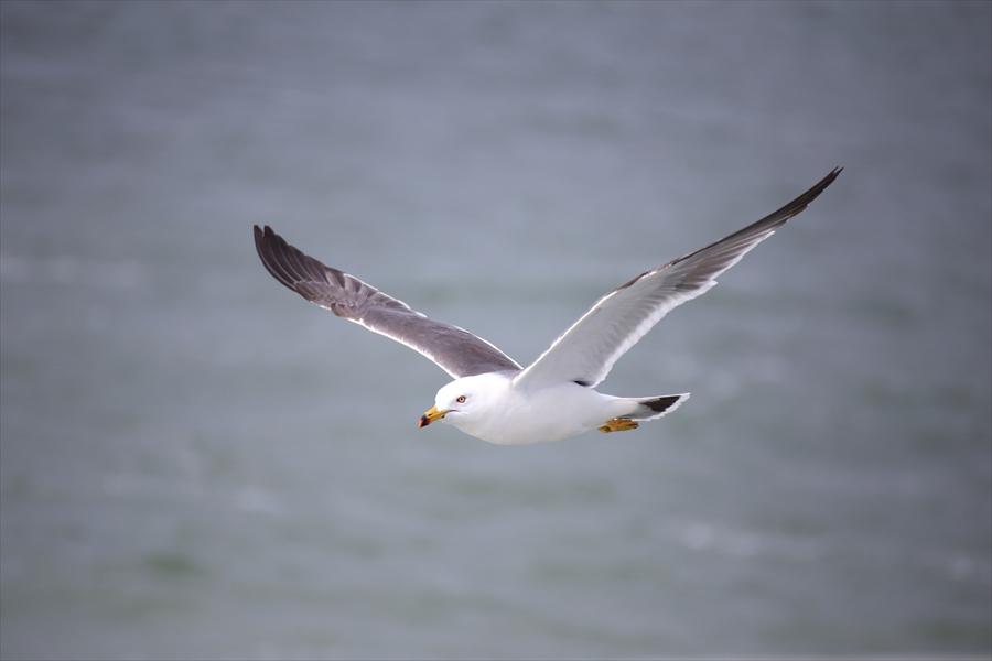 松島海岸かもめその2水平飛行09