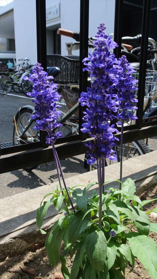多摩川J1紫花06