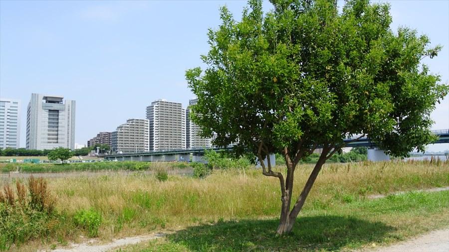 多摩川J1河川敷木とマンション08