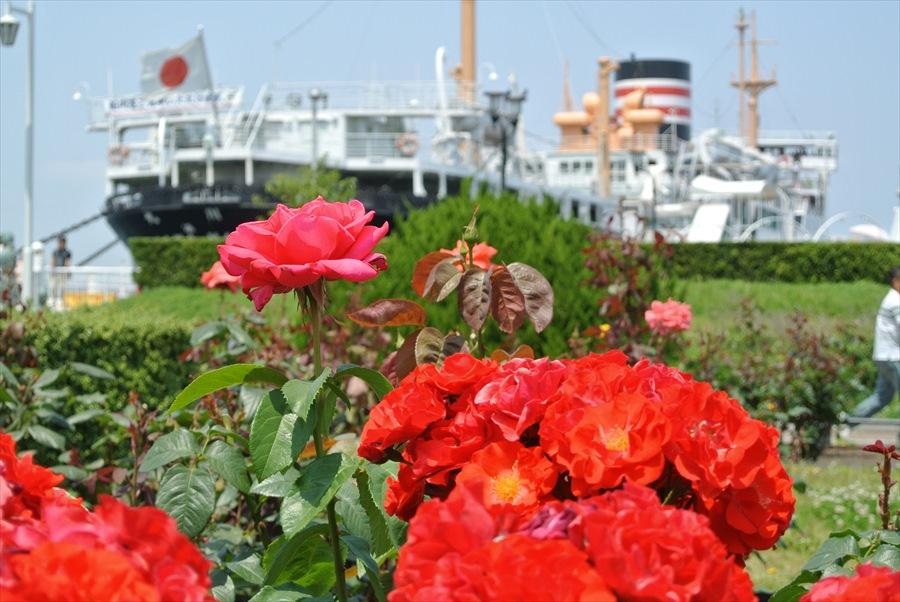 横浜Y154紅い薔薇と氷川丸09