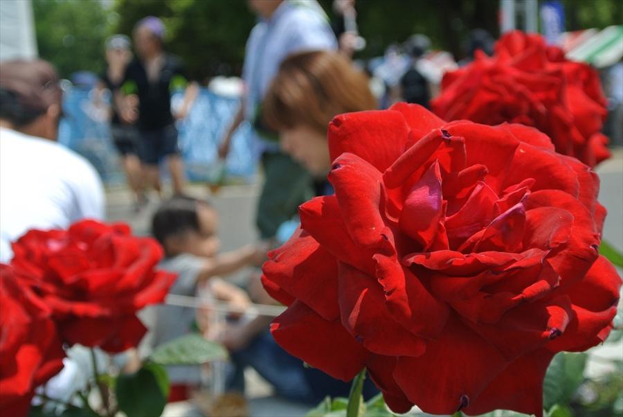 横浜Y154山下公園赤いバラ10
