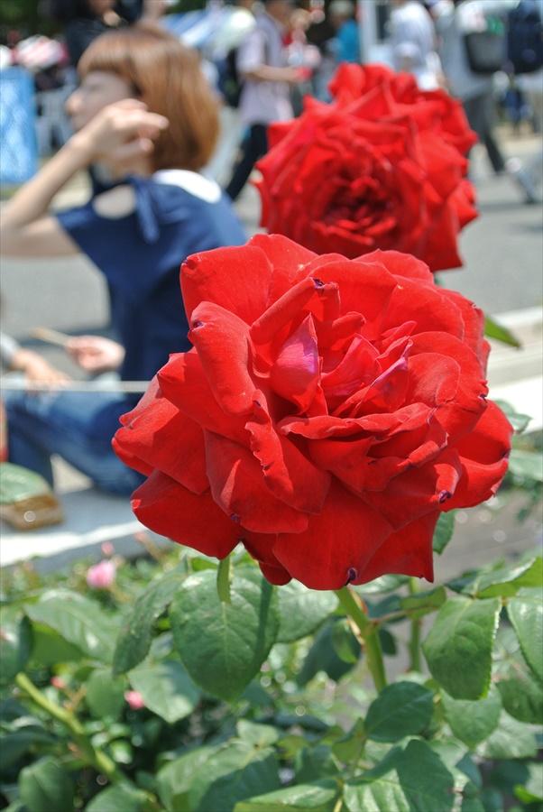 横浜Y154山下公園赤いバラ11
