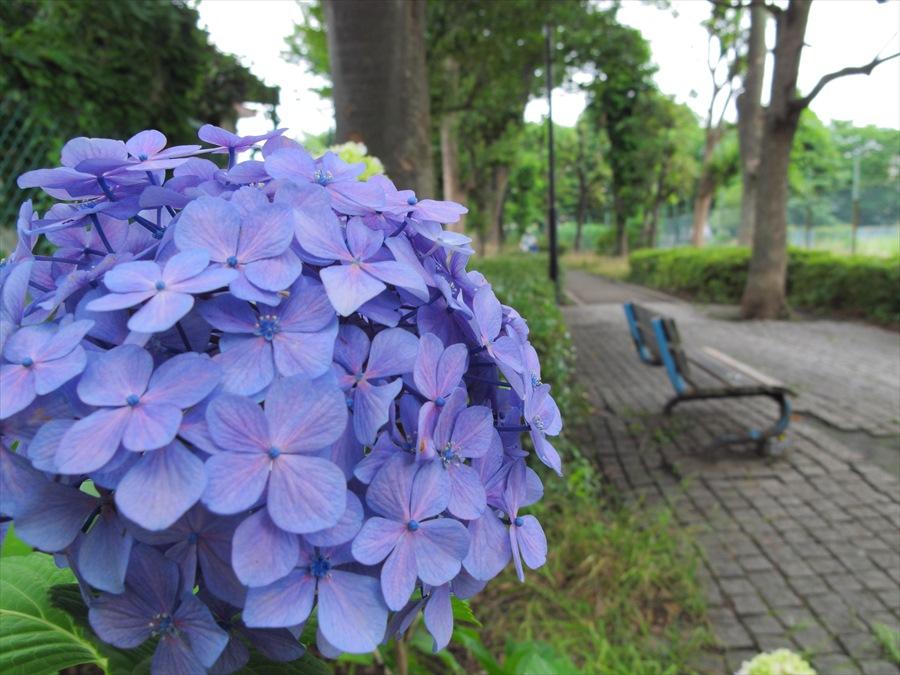 鎌倉紫陽花プロローグ新川崎行く道の紫陽花01