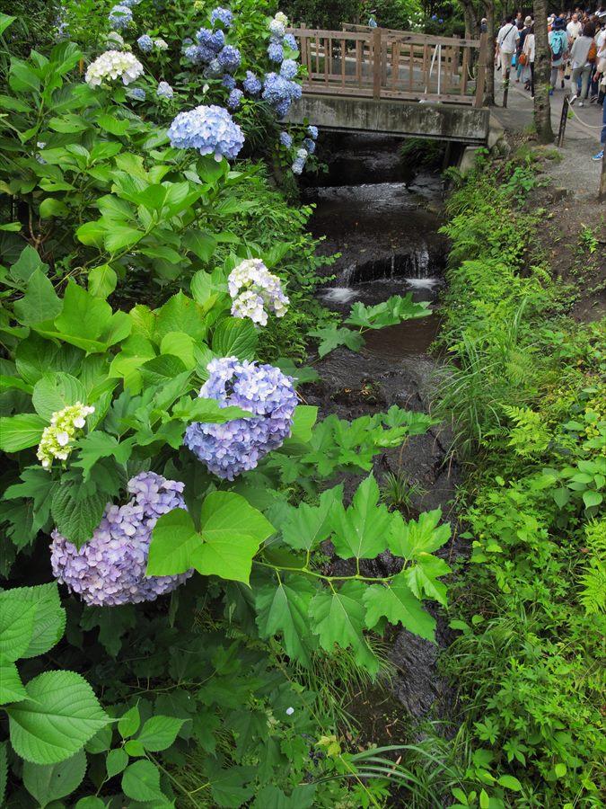鎌倉紫陽花明月院前小堀と紫陽花02