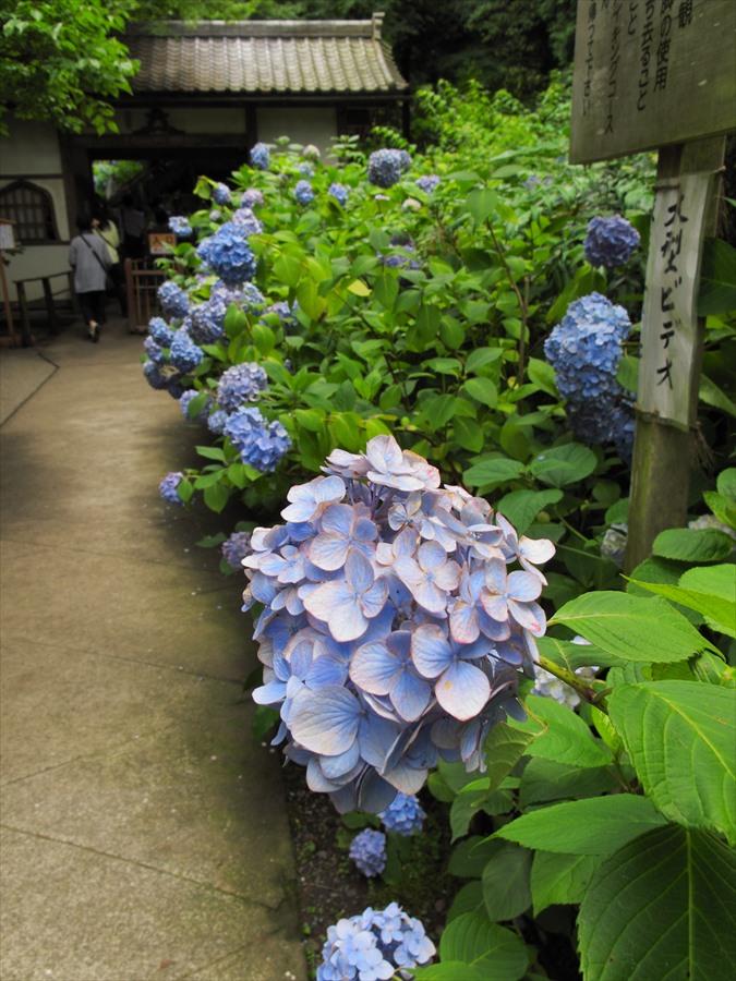 鎌倉紫陽花明月院前門前の紫陽花04