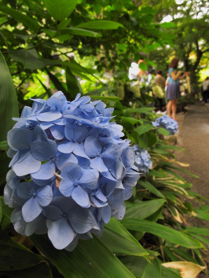 鎌倉紫陽花明月院前迎えてくれた紫陽花と紫陽花色の女性06