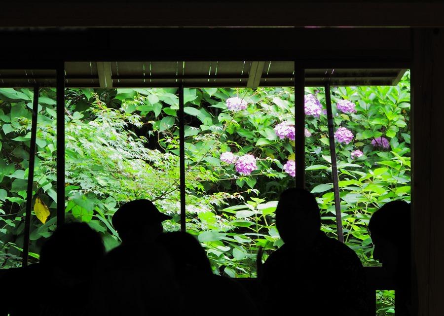 鎌倉紫陽花明月院01明月院内茶屋窓に映える紫陽花01