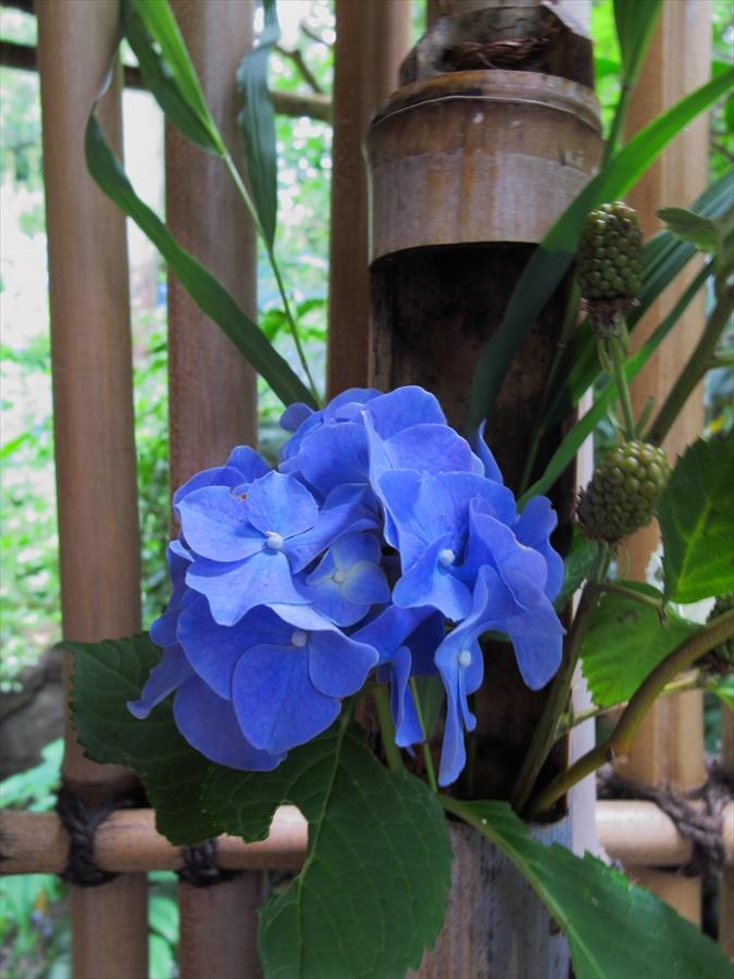 鎌倉紫陽花明月院01明月院内茶屋門前に活けてある紫陽花02