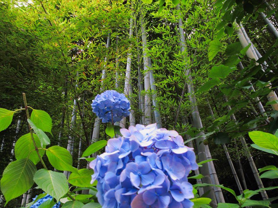 鎌倉紫陽花明月院03竹と紫陽花01