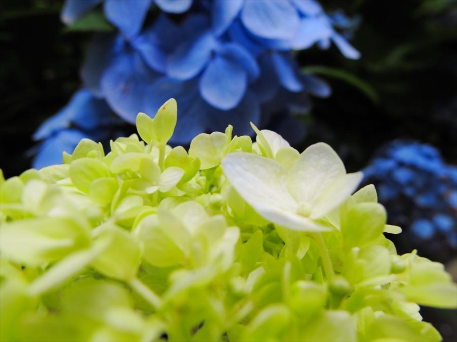 鎌倉紫陽花明月院03ポップな紫陽花03