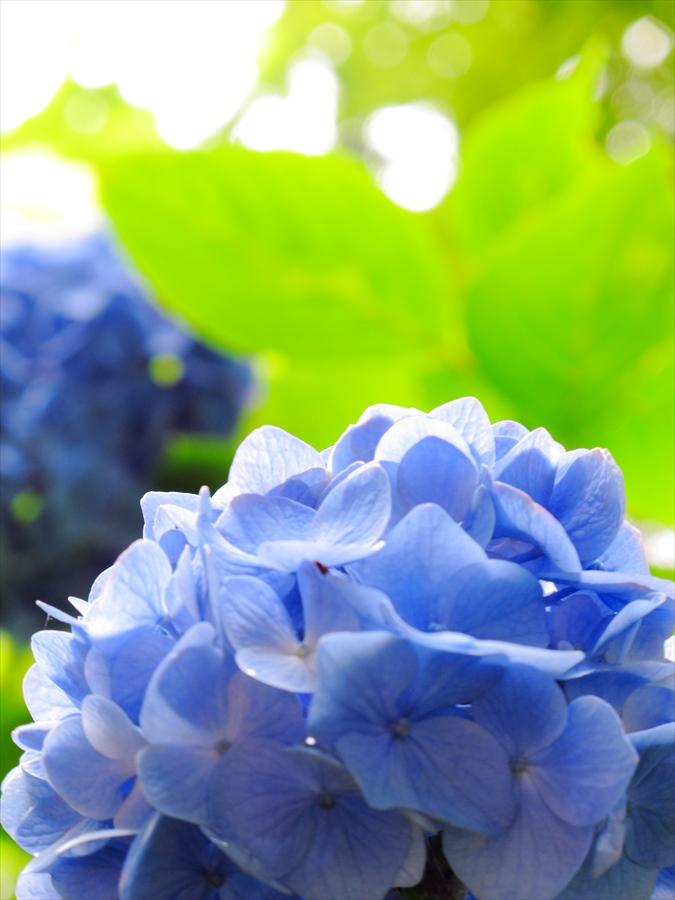 鎌倉紫陽花明月院03ポップな紫陽花04