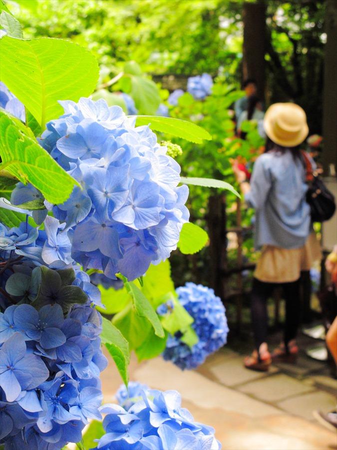 鎌倉紫陽花明月院03ポップな紫陽花と女性05