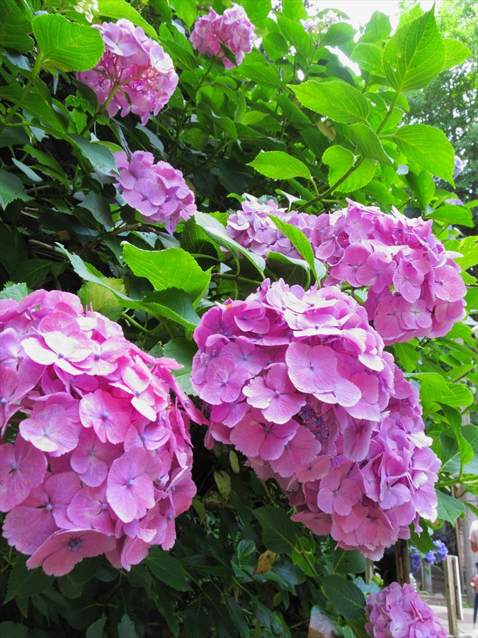 鎌倉紫陽花明月院03ポップな紫陽花ピンク06
