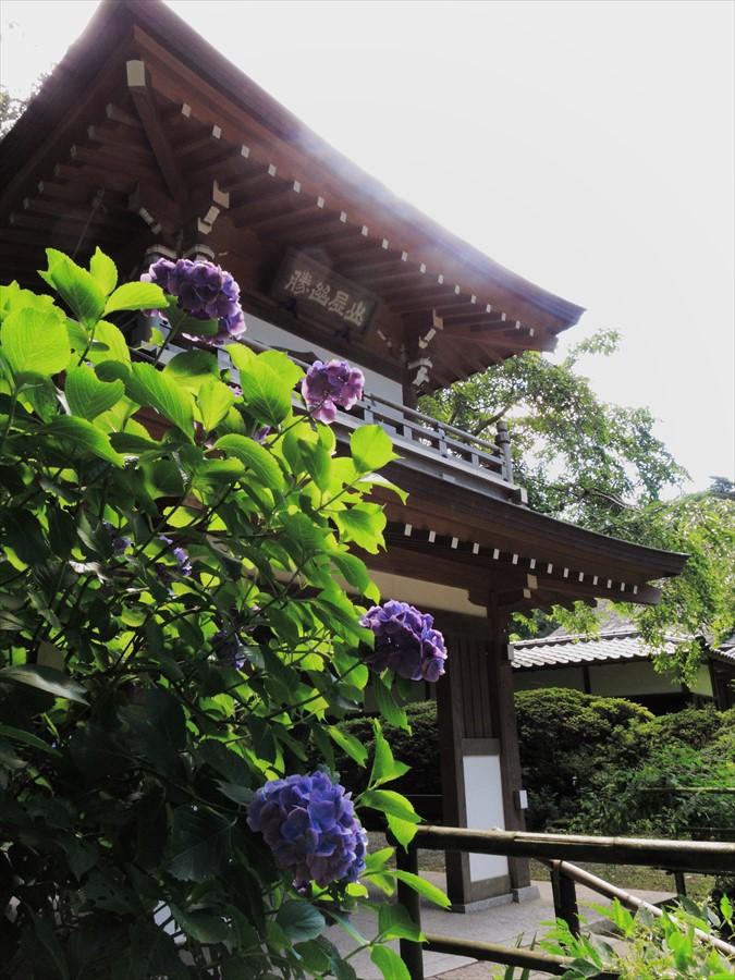 鎌倉紫陽花浄智寺山門と紫陽花06