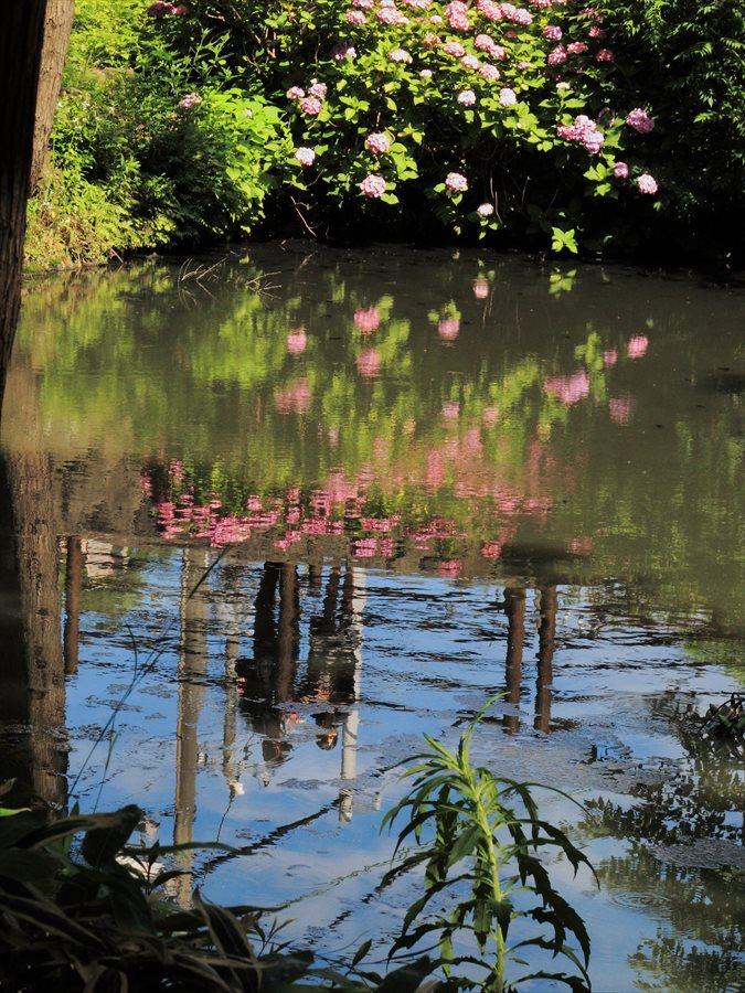 鎌倉紫陽花エピローグ水面に映えるカップルと紫陽花05
