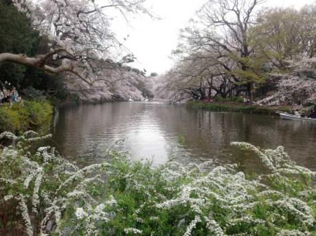 桜1@井の頭