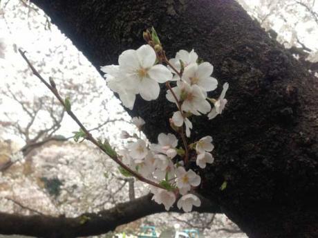 桜2@井の頭
