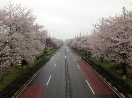 桜1@国立