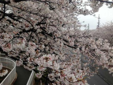 桜2@国立