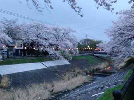 桜1@乞田川