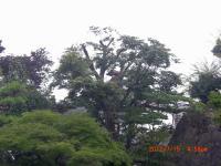 H240721切り縮めたソロの樹