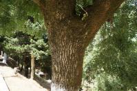 H240814顕広コルクの木2