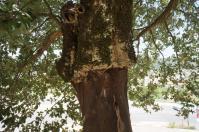 H240814顕広コルクの木