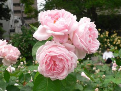 大都会の昼下がりに妖艶な姿で多くの人を魅きつけるバラの花