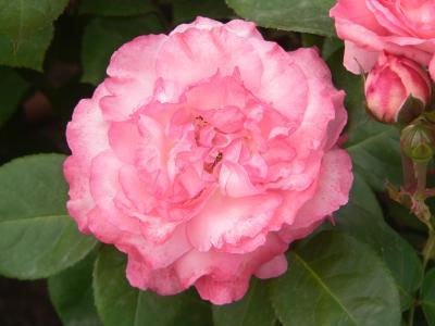 引き込まれそうになるくらいの甘い魅力を持ったバラの花