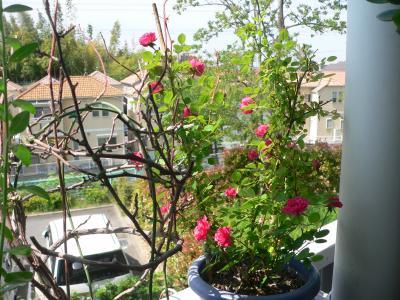 ベランダで咲き始めた我が家のバラ