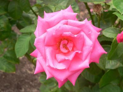 たくさん撮ってきたバラの写真を2回にわたって掲載した
