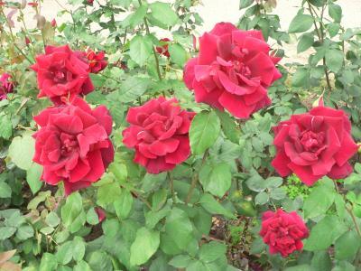 見事に咲きそろったバラの赤と緑のコントラストがいい
