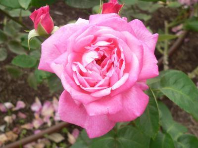そこはかとない色気を感じさせるバラの花びら