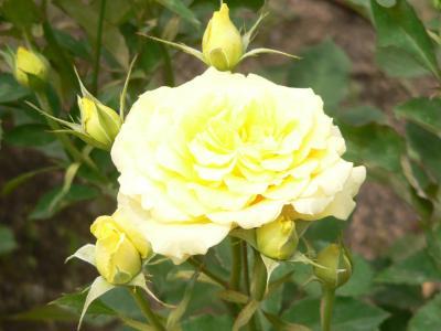 先日、「靫公園バラ園」で撮ったバラの写真