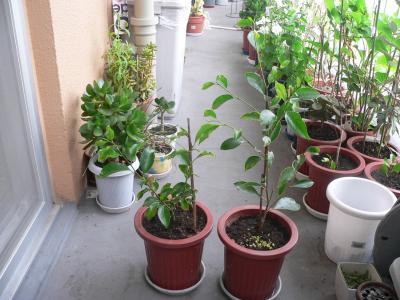成長したので一回り大きな鉢に植え替えたガジュマルの苗木