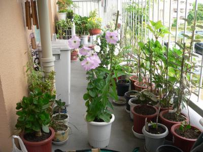 種も蒔いていないのに勝手に成長してきた「ペチュニア」