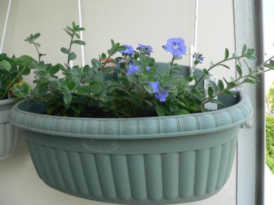 先日、プランターに植えつけたら、すぐに花を付け始めた「アメリカンブルー」