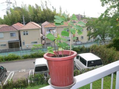 生き返ったイチョウの苗木は順調に葉の数を増やして成長を続けている