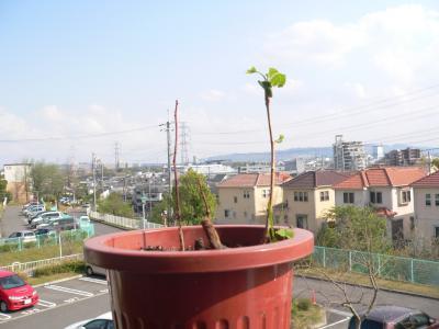 死んだと思っていたイチョウの苗木から、3月29日に若葉が出ているのを確認